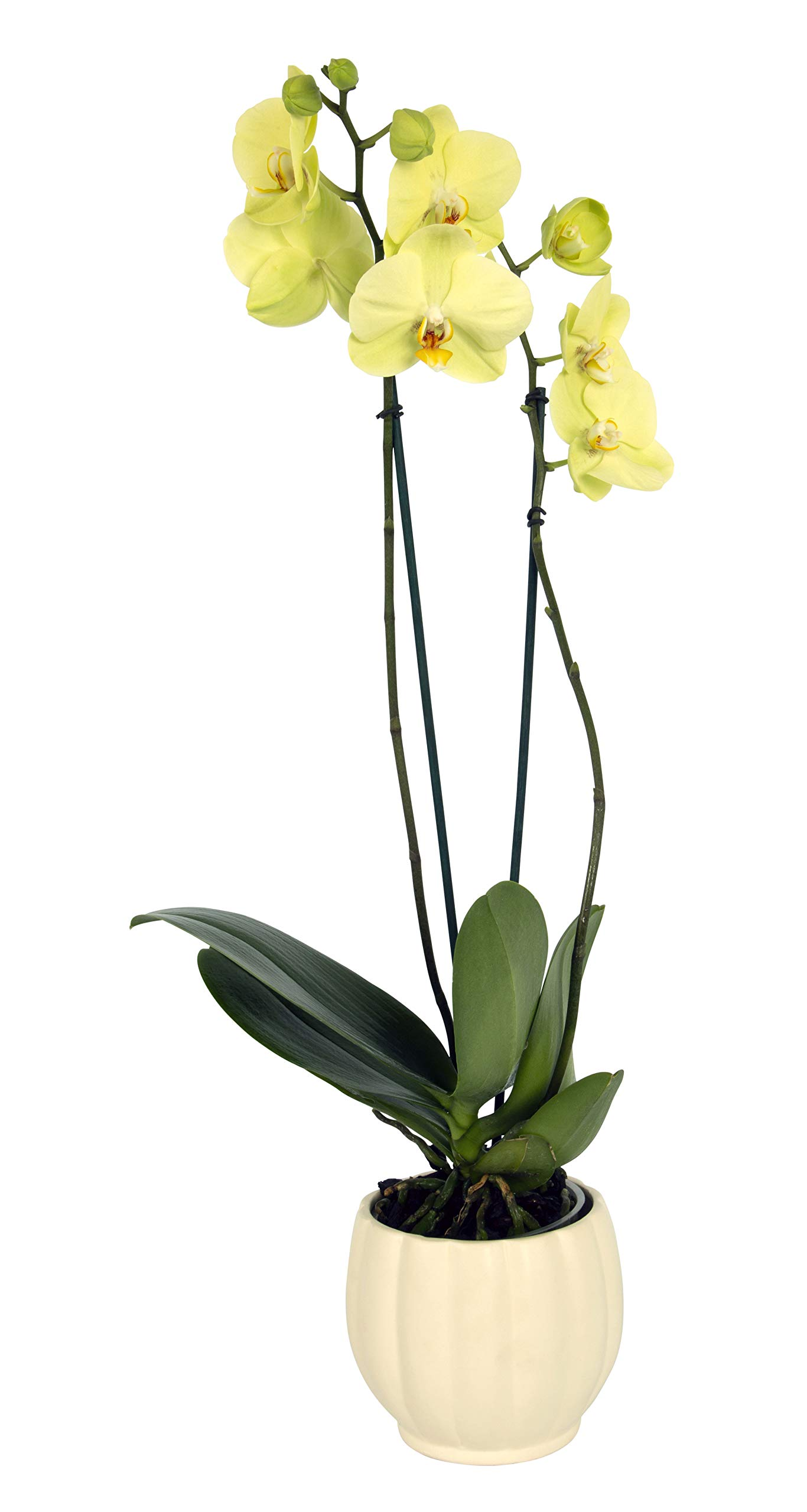 Color Orchids Live Blooming Double Stem Phalaenopsis Orchid Plant in Ceramic Pot, 20'' - 24'' Tall Yellow