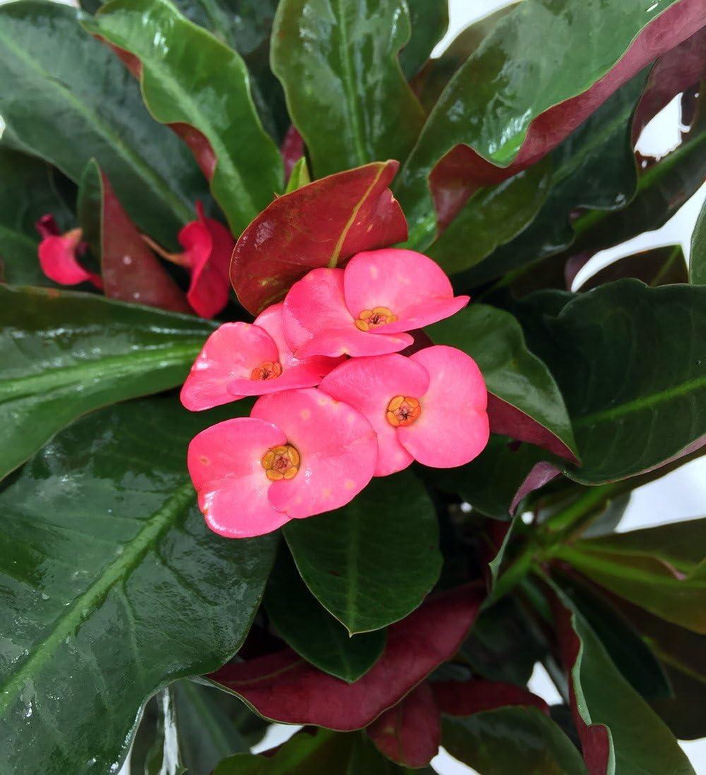 Amazon Com Red Crown Of Thorns Plant Euphorbia Splendens