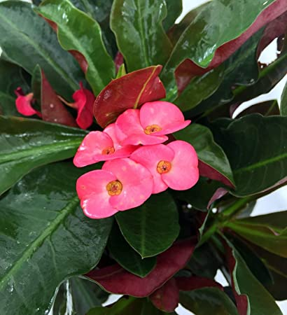 Amazon red crown of thorns plant euphorbia splendens red crown of thorns plant euphorbia splendens mightylinksfo