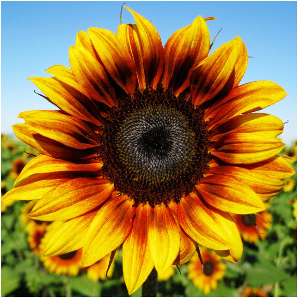 amazon com package of 85 seeds firecracker sunflower helianthus