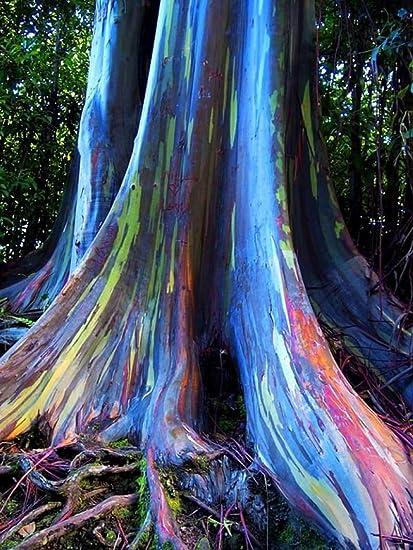 Amazon Com Rainbow Eucalyptus Deglupta 20 Seeds Multi Hued Bark