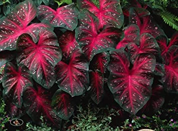 Amazon Com Flowelover 50 Caladium Red Flash Elephant Ears