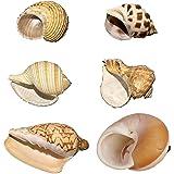 Petawi Hermit Crab Shells Large Medium XLarge Natural Growth Shells for Hermit Crab Variety Turbo Seashells Sea Conch No Pain