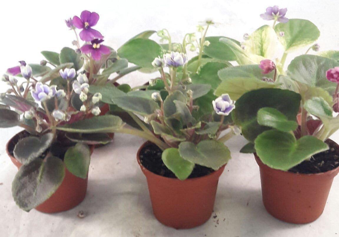 Amazon Com Ss0144 Miniature African Violet 5 Plants 2 Pot