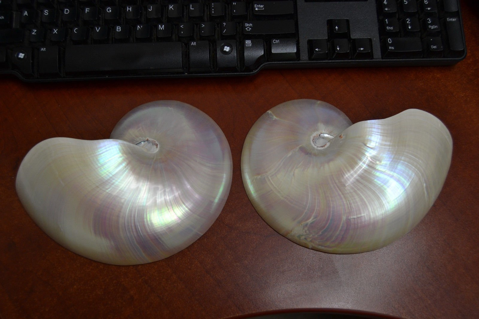 Sliced White Pearlized Chambered Nautilus Polished Sea Shell Decor 7''