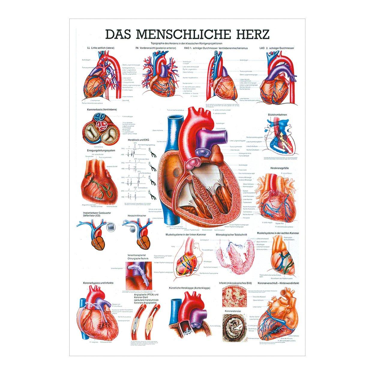 Niedlich Herz Anatomie Und Physiologie Fotos - Menschliche Anatomie ...