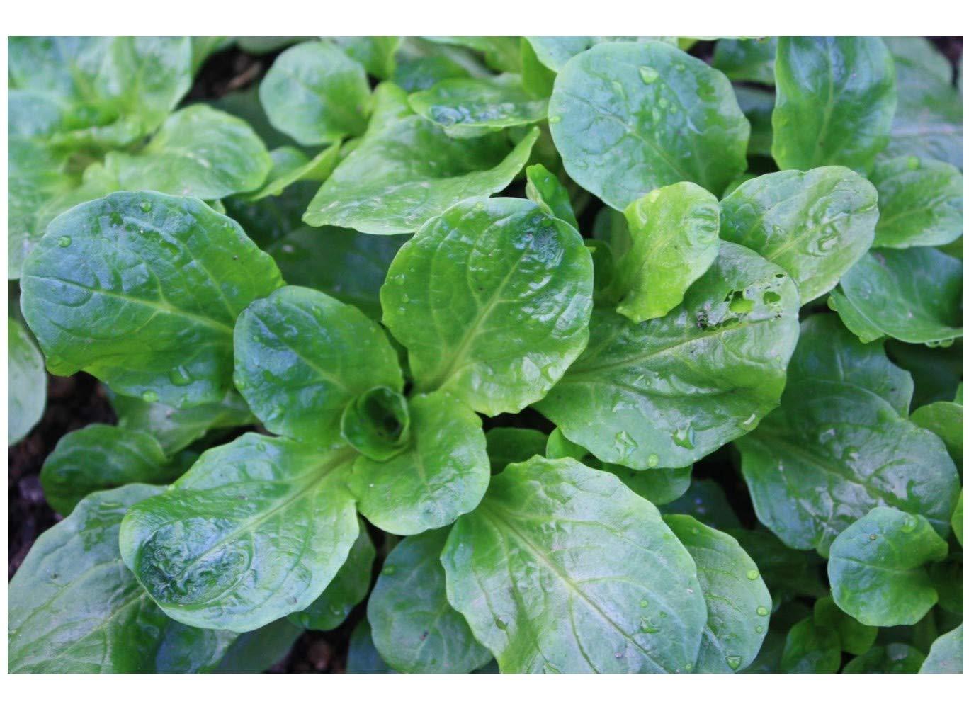 Corn Salad - Lambs Lettuce - Mache - 1300 Finest Seeds Premier Seeds Direct HRB14