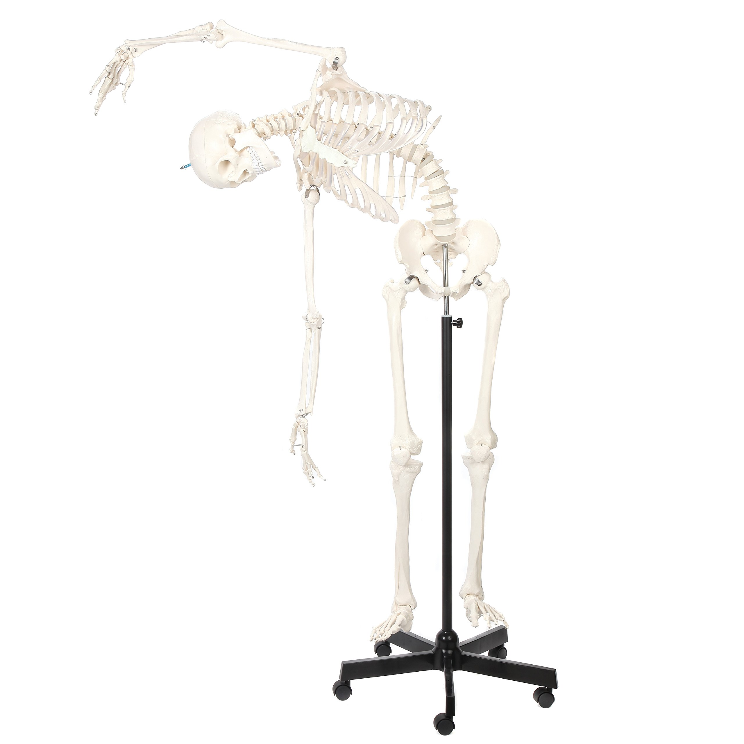 Axis Scientific Life Size Flexible Skeleton Anatomy Model   Full Size Anatomical Skeleton Model   Features a Flexible Spine That Holds Its Shape   Includes Base and 3-Year Warranty