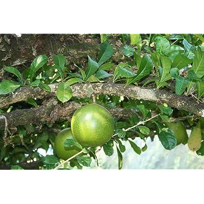 Crescentia Cujete - Calabash Tree - Rare Tropical Plant Tree Seeds (8) : Garden & Outdoor