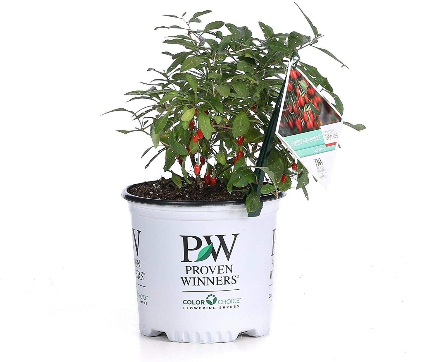 Amazon Com Achmadanam Live Plant Sweet Lifeberry Goji Berry
