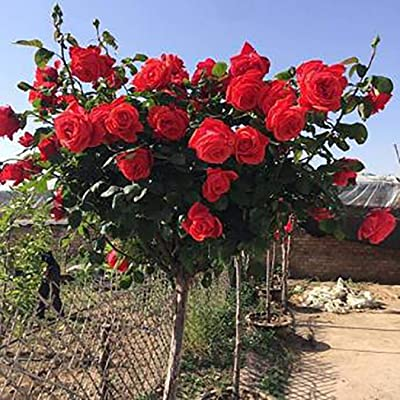 Countia Garden, Red Rose Seeds Perennial Rose Tree Seeds Ornamental Bonsai Plant Seeds Flowers Seeds for Home Garden Balcony Decor : Garden & Outdoor
