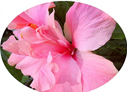 Amazoncom Cele Tinney Tropical Hibiscus Live Plant Heirloom