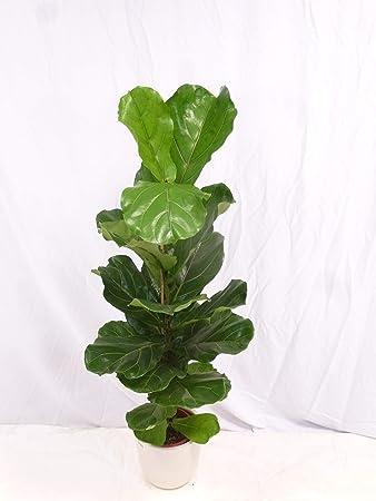 Palmenlager Ficus Lyrata 120 Cm Geigenfeige Zimmerpflanze Mit Großen Blättern