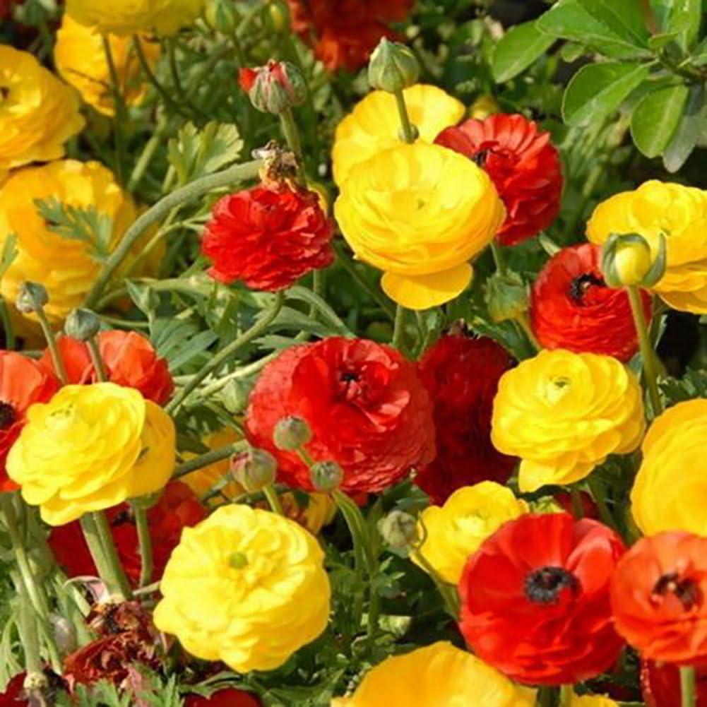 wintefei 50個RanunculusラナンキュラスFlower Seeds多年生植物装飾