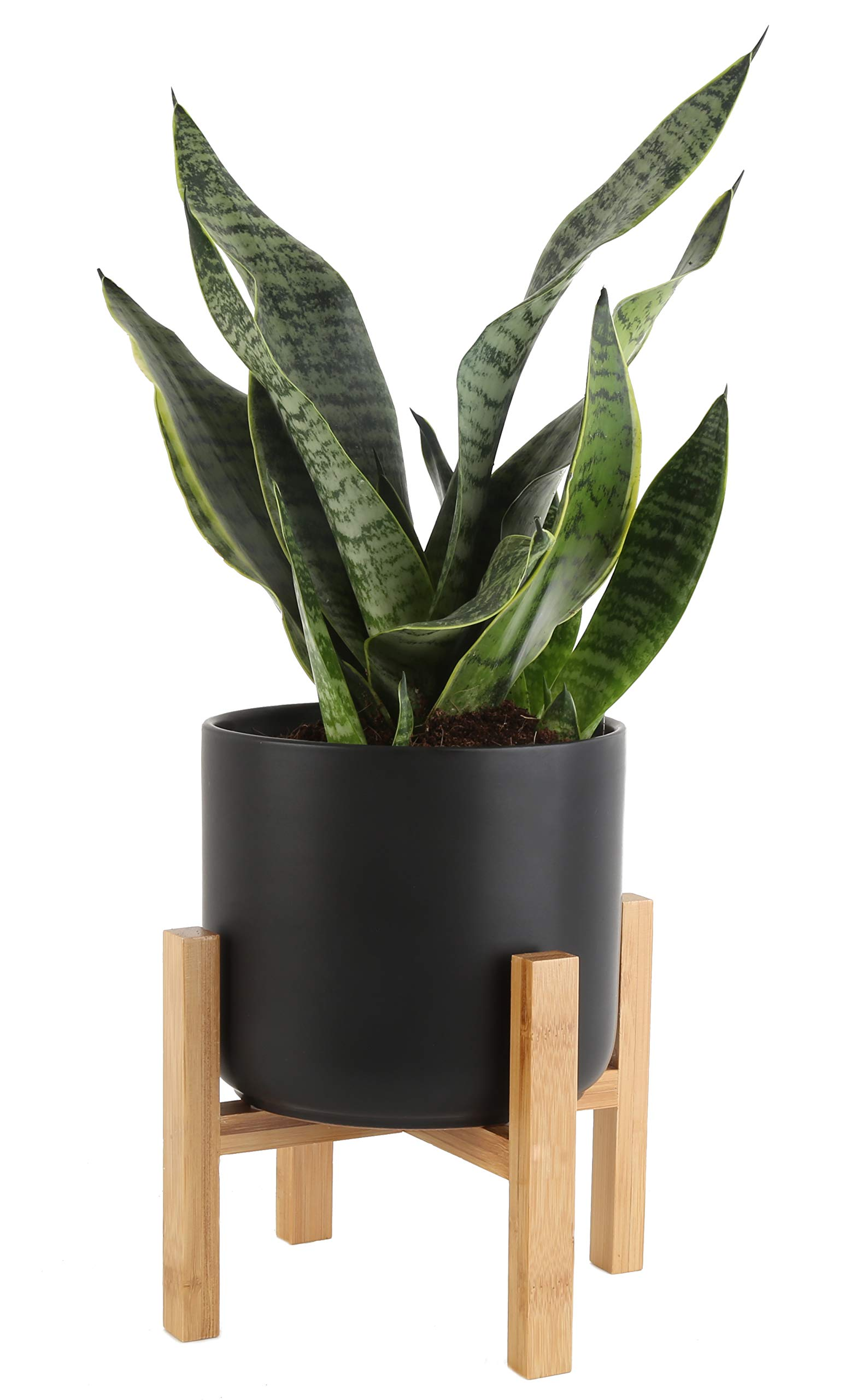 Costa Farms Snake Plant, Sansevieria, with 6.5-inch Wide Mid-Century Modern Planter and Plant Stand Set, Black, Fits on Floor/Tabletops