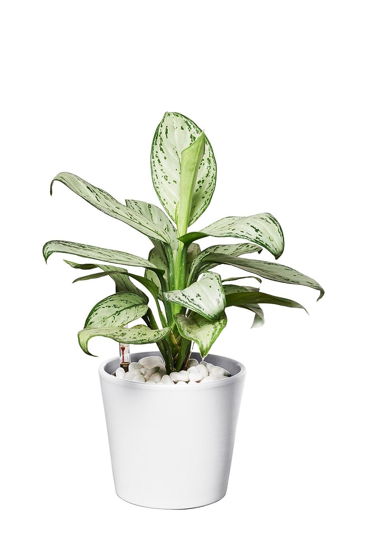 Agloaonema commutatum Maria Christina Zimmerpflanze Kolbenfaden in Hydrokultur mit gelbem Topf als Set EVRGREEN