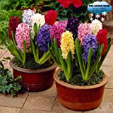 Pre-chilled Mixed Hyacinths - 12 Bulbs - Assorted Color Hyacinth Bulbs, Blue, Pink, White, Purple