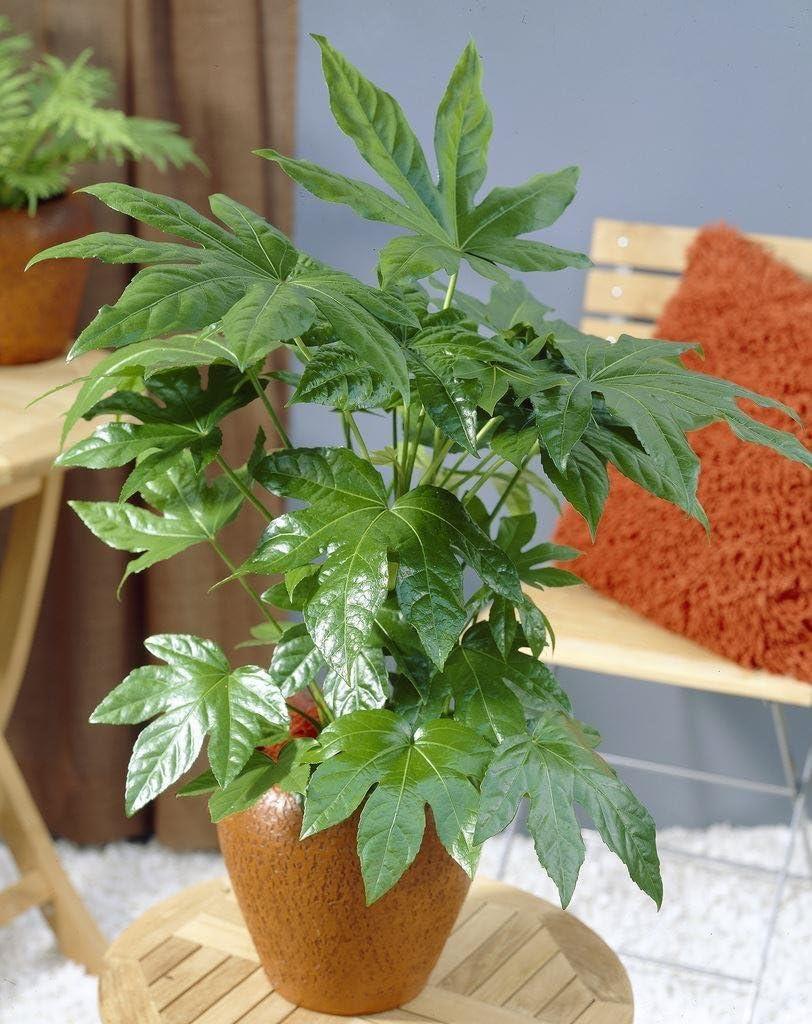 Gardening Express Fatsia Japonica Japanese Aralia Plants