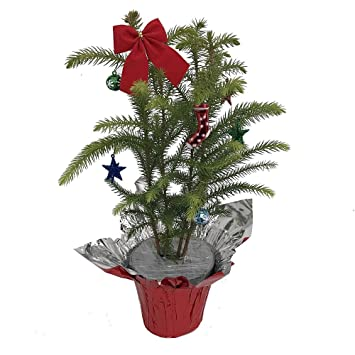Amazon.com : Norfolk Island Pine Decorated - The Indoor Christmas ...