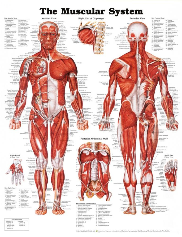 Amazon The Muscular System Anatomical Chart Poster Print