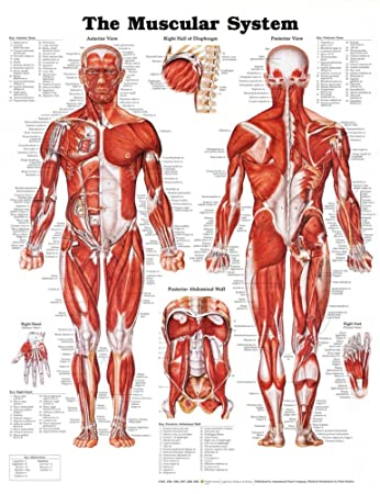 musculature anatomy chart: Amazon com the muscular system anatomical chart poster print