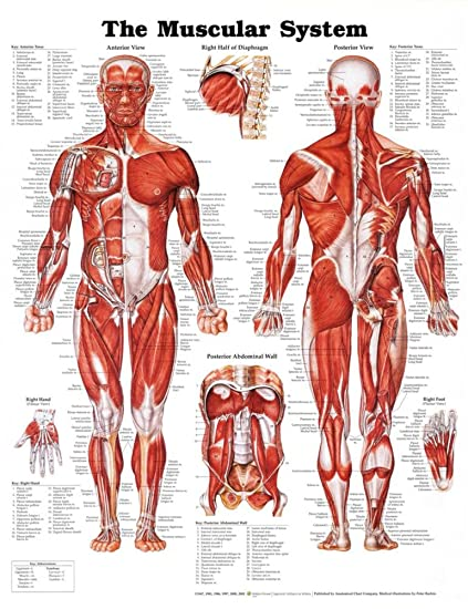 Amazon.com: The Muscular System Anatomical Chart Poster Print ...
