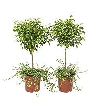 BOTANICLY | 2 × Plantes vertes d intérieur – Figuier rampant | Hauteur: 65 cm | Ficus Pumila