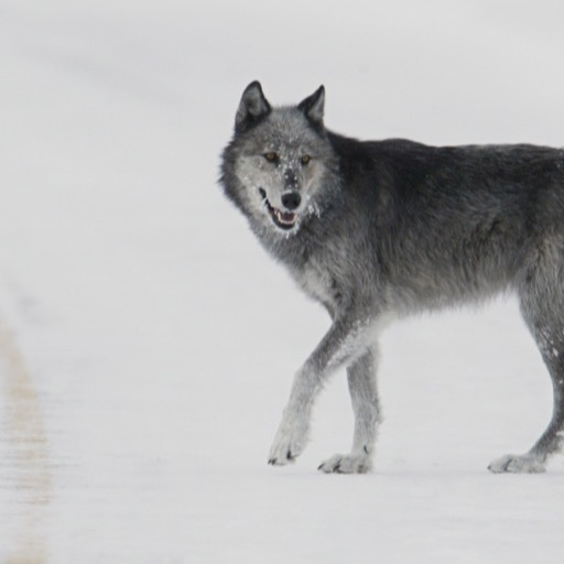 Gray Wolf Wallpaper Hd Wallpapers Of Gray Wolf Amazon