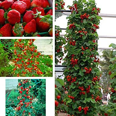 Elever 100pcs/bag Red Giant Climbing Strawberry Seeds Fruit Plant Seeds Sweet Gaint Potted Plant for Home Garden Planting : Garden & Outdoor