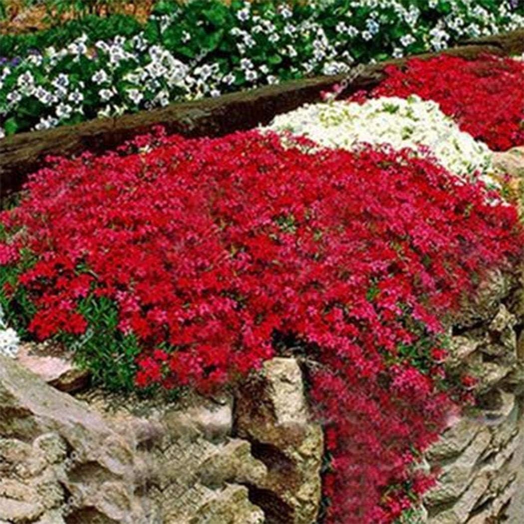 ADOLENB Seed House - Piedra Hierba Flores Semillas Raras Ganso ...