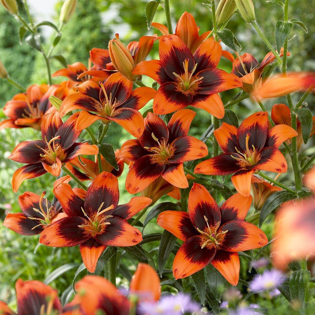Van Zyverden Lilies Easy Samba Set of 8 Bulbs