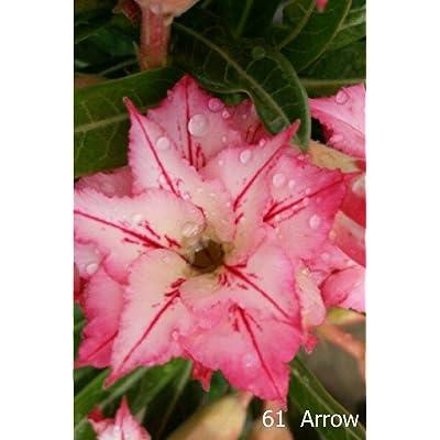 Succulent Desert Rose Plant, adenium No61 Arrow, USA : Garden & Outdoor