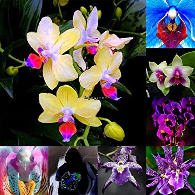 Portal Cool 20 Pcs Mirabilis Jalapa Four O'Clock Flower Seed Tropical Ornaments Flower Seeds : Garden & Outdoor