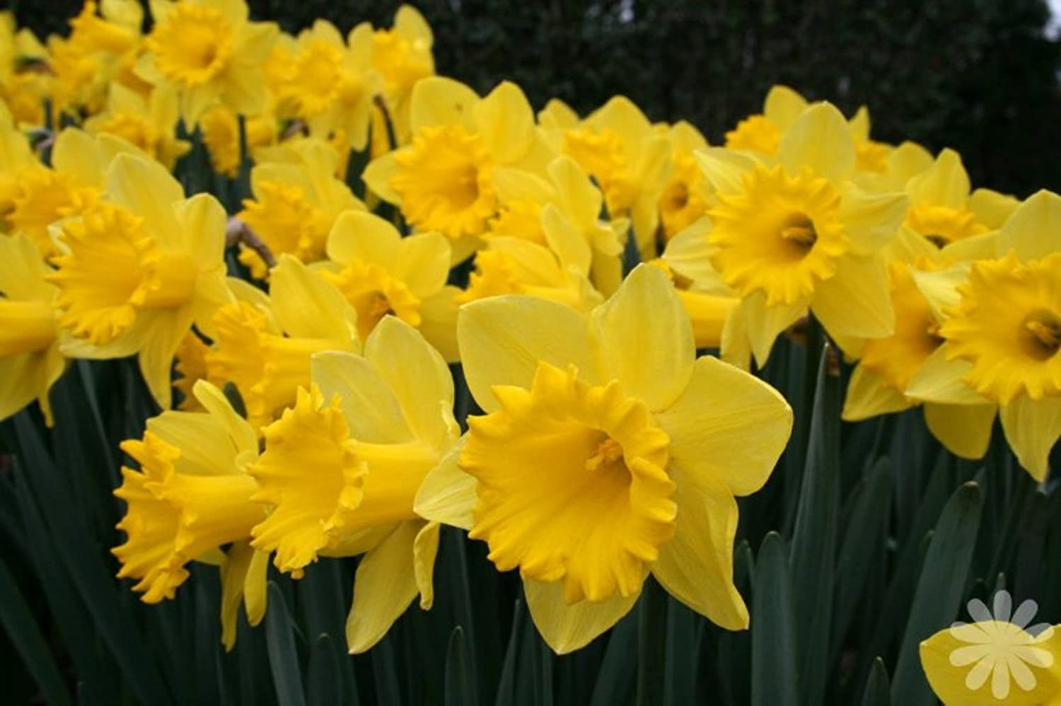 GARTHWAITE NURSERIES : - 25 KG King Alfred Trumpet Daffodil Bulbs Vivid Yellow Spring Flowering Perennial Great Value Garthwaite Nurseries®