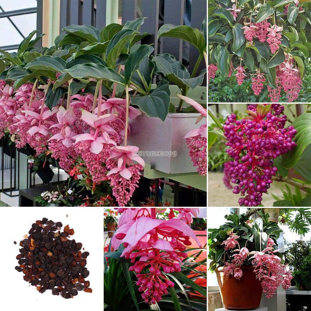 AGROBITS Paquete / 100P: 50 / 100P Jardãn Balcã³n Hermoso Bonsai Plantas Medinilla magnifica ER99 01