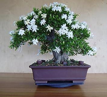Beautiful National Gardens Common Gardenia Seeds (Bonsai Suitable)