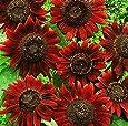 5gr. Sonnenblumen Mix Samen, verschiedene Helianthus Sorten, ca. 100-150 Samen, sunflower seeds
