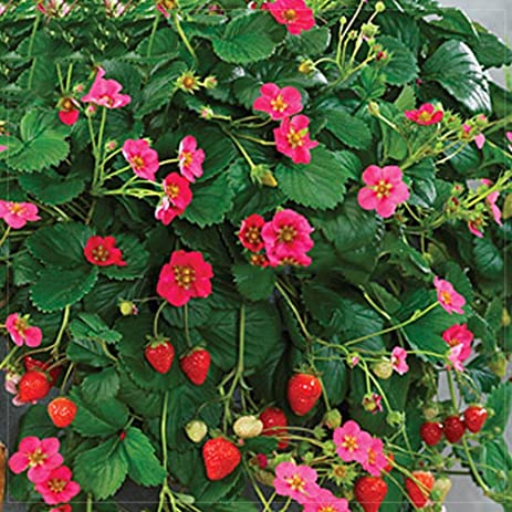Amazon best garden seeds pikan strawberry seeds 100 seeds best garden seeds pikan strawberry seeds 100 seeds professional pack red fruits mightylinksfo
