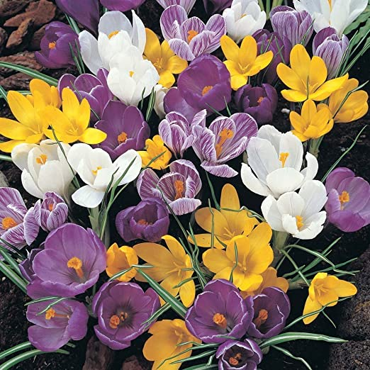 Crocus Mixed 100 Bulbs Amazon Co Uk Garden Outdoors