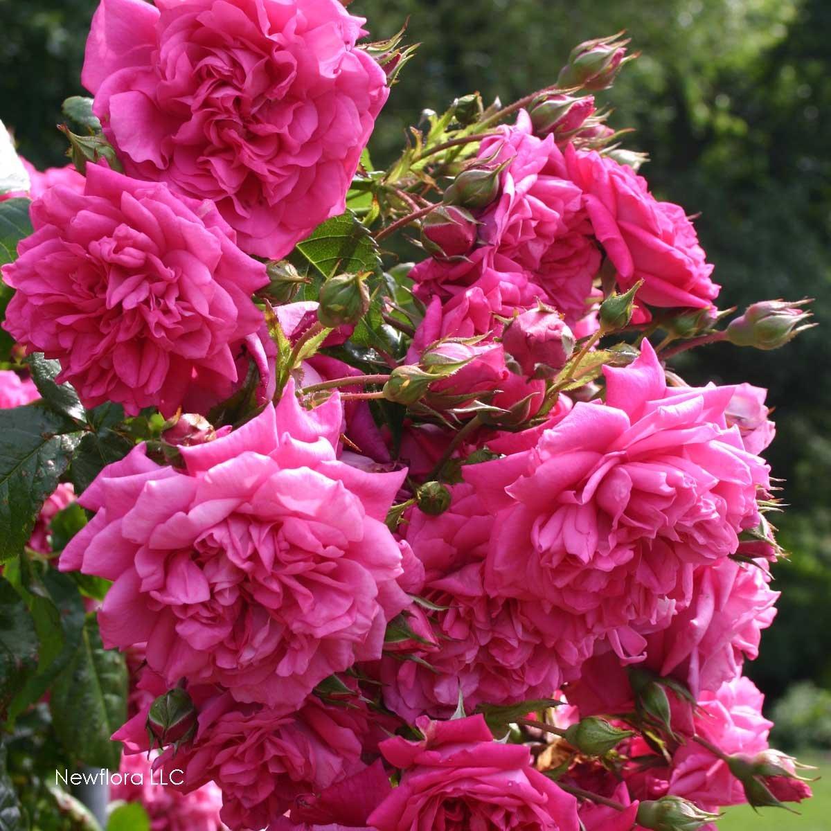 Laguna rose bush fragrant pink climbing rose organic grown large laguna rose bush fragrant pink climbing rose organic grown large pink flowers 4 potted flowers patio lawn garden tibs mightylinksfo
