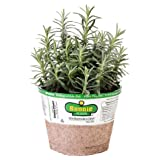 Bonnie Plants 5065 Elegance Lavender Herb Plant
