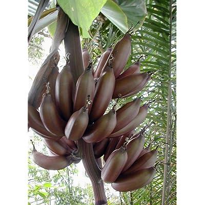 French Banana 8 Seeds - Musa paradisiaca : Tree Plants : Garden & Outdoor