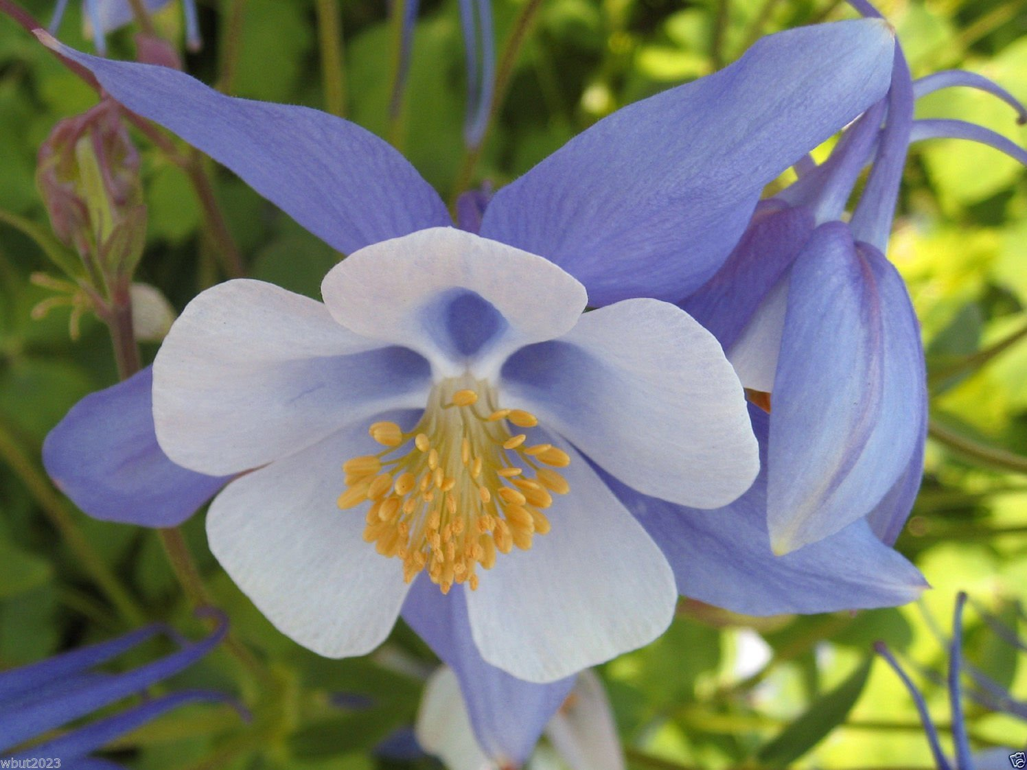 Amazon 100 Seeds Aquilegia Coerulea Colorado Blue Columbine