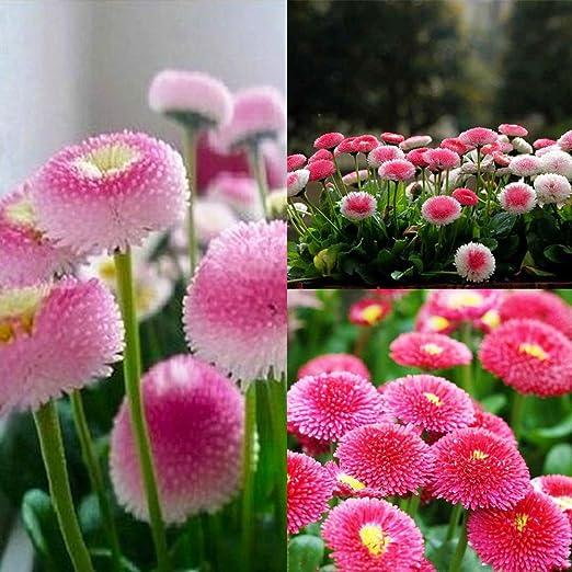 Semillas de Margaritas lamta1k 30 Piezas Daisy Seeds Bonsai Flor de crisantemo Calidad de la Planta y Alto /índice de Supervivencia ing Decoraci/ón de Jardines de jard/ín