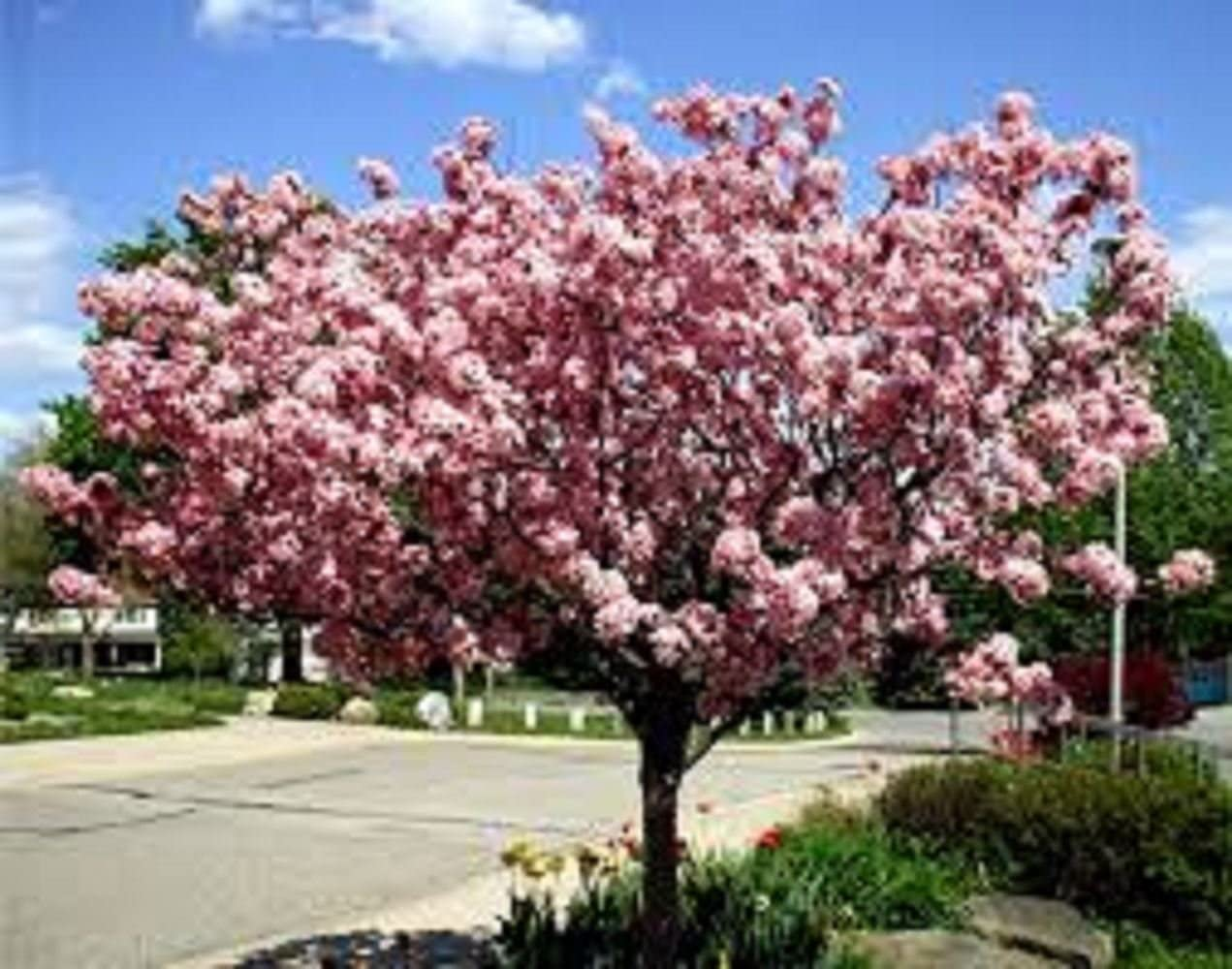 7.5L Potted 1X Large Malus Gala Apple Fruit Tree 5-6FT