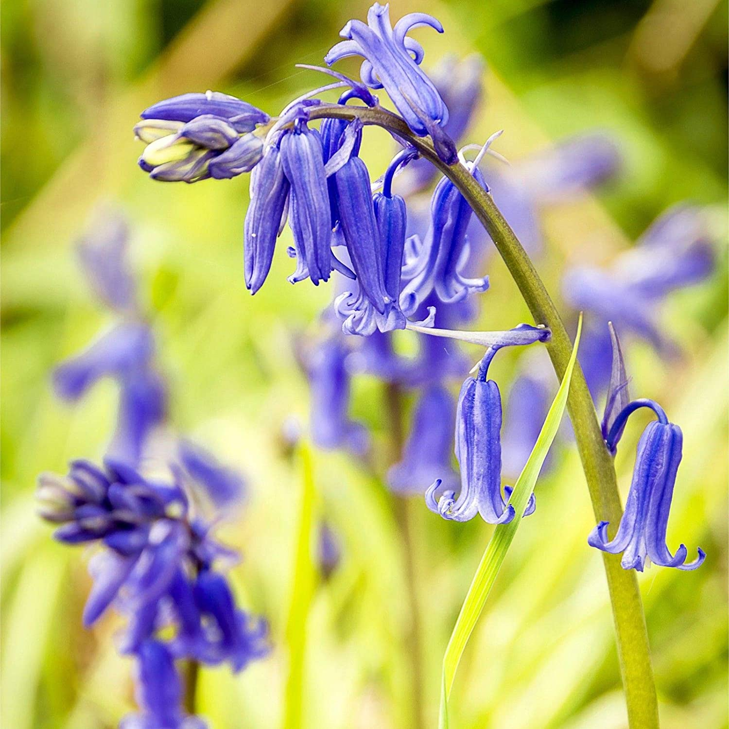 Humphreys Garden® Cultivated English Bluebells x 30 Bulbs