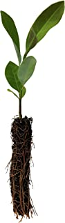product image for Sweetbay Magnolia | Small Tree Seedling | The Jonsteen Company