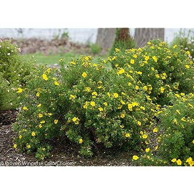 """AchmadAnam - 4"""" Pot - Yellow Happy Face Bush Cinquefoil - Potentilla - Proven Winners, Plant, Bush, Shrub : Garden & Outdoor"""