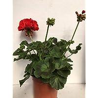 Geranio Zonal - Pelargonium (Pack 6 plantas) 14 cm ø - Vipar Garden 9