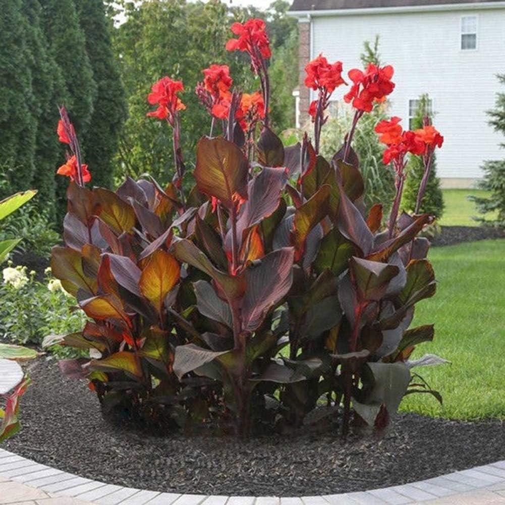 lamta1k 20 Piezas de Canna Semillas Bonsai Ornamentales Alto índice de Supervivencia Flor Home Office Patio Jardín Decoración - Semillas de Canna
